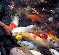 Persiapan Sebelum Budidaya Ikan Koi Ala Pemula
