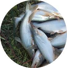Umpan Mancing Ikan Patin Semua Lokasi Paling Galak