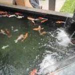 Pengendalian Pertumbuhan Algae Pada Kolam Ikan koi