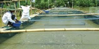 Syarat Budidaya Ikan Nila Di Kolam Terpal,Tanah,Beton