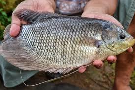 Mengenal Jenis Ikan Gurami Serta kelebihan Dalam Budidaya