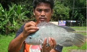 Jenis Ikan Nila Dan Cara Budidaya Secara Benar