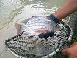 Persiapan Kolam Sebelum Budidaya Ikan Nila Rumahan