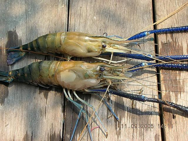 Umpan Mancing Udang Lobster Air Tawar