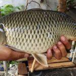 Umpan Mancing Ikan Mas Babon Galatama 2018 Segala Lokasi