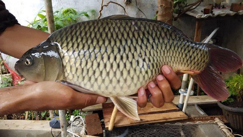 Umpan Mancing Ikan Mas Babon Galatama Segala Lokasi