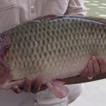 Umpan Mancing Ikan Mas Air Dalam 2018
