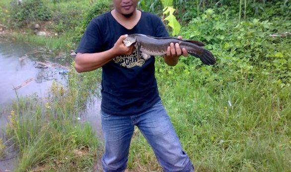 Umpan Mancing Ikan Gabus Di Sungai (Pengalaman Pribadi)