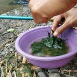 Cara Merangkai Pancing Lumut Parit dan Kolam (Pengalaman Kami)