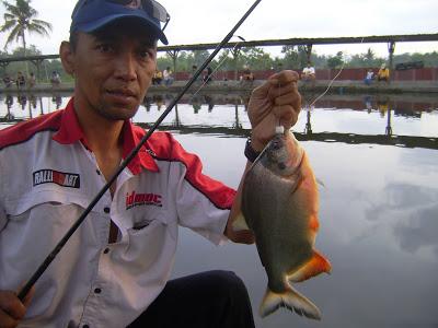 5 Umpan Jitu Ikan Bawal Galatama Malam Hari Jos Galak Mantap