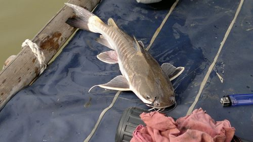 3 Jenis Umpan Ikan Baung Di Air Keruh Jos Mantap
