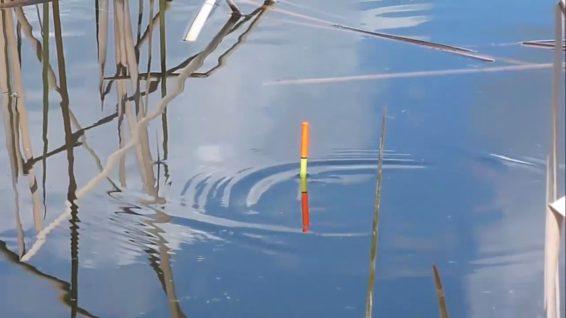 3 Teknik Mancing Ikan Mas Pakai Pelampung Hasil Melimpah