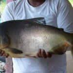 Rahasia Membuat Resep Ampuh Umpan Ikan Bawal Siang Hari