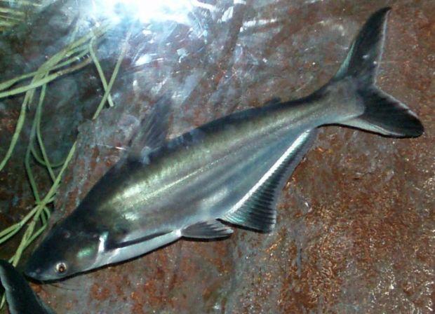 Membuat Racikan Umpan Ikan Patin Sungai Deras Sudah Terbukti Mancingikan Net 2020 Mancingikan Net 2020