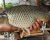 3 Cara Bikin Umpan Ikan Mas Dari Pelet Resep Plus Racikan Sendiri