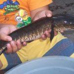 3 Cara Ampuh Mengobati Jamur Pada Ikan Gabus Sudah Terbukti
