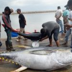 Umpan Mancing Tuna Laut Dalam Tradisional Galak Mantap