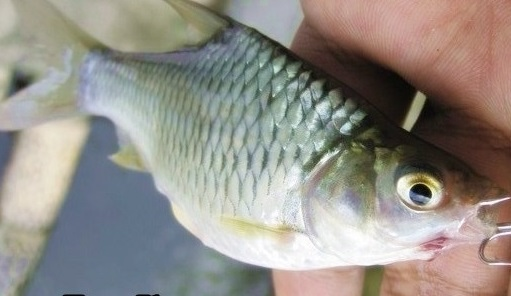 Tips Jitu Dan Umpan Mancing Ikan Tawes Di Waduk
