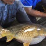 Berbagai Jenis Umpan Ikan Mas Trombo Kuning Alami