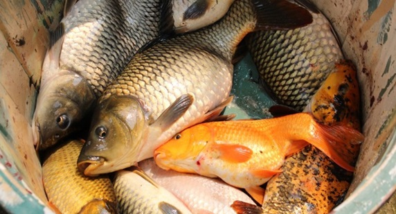 3 Cara Membuat Umpan Ikan Mas Yang Sederhana Belum Banyak Tahu