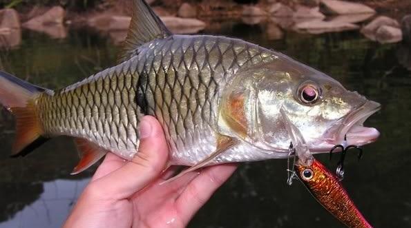 Berikut Umpan Alami Ikan Hampala Air Keruh Paling Ampuh