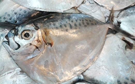 Ini Umpan Mancing Ikan Bulan-Bulan Air Tawar Dan Payau Jos