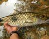 Rahasia Umpan Jitu Ikan Mas Cirata Kilo Gebrus Harian Galak