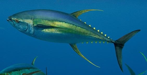 KetahuiLokasi Kedalaman Ikan Tuna Sebelum Memancing