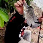 Cara Membuat Perangsang Ikan MujairYang Di Campurkan Assen