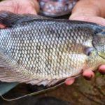 Umpan Mancing Ikan MujairPaling Paten Sejagat